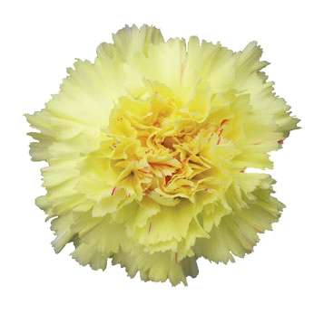 Valentine's Day Yellow Carnations
