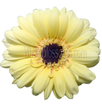 yellow-creme-gerbera