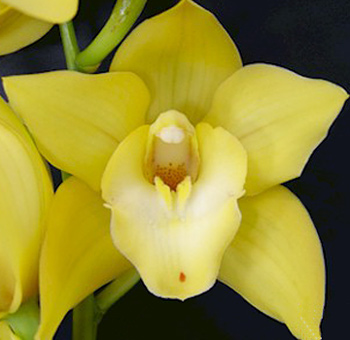 Yellow Cymbidium Orchid Clear Lip