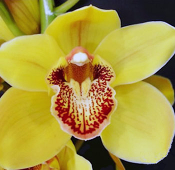Yellow Cymbidium Orchid Red Lip