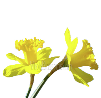 yellow-daffodil-flowers