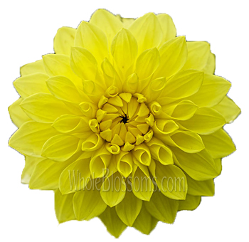 Dahlias Yellow Flowers