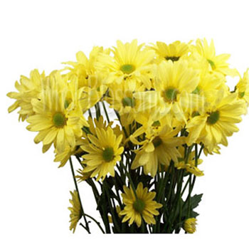 Bulk yellow daisy pom flower at wholesale prices daisy pom flower yellow mightylinksfo
