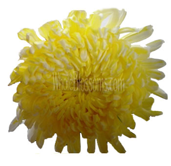 Jumbo Football Mum Tinted Yellow Flower
