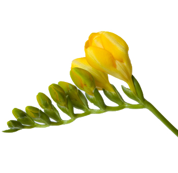 Freesia Yellow Flower