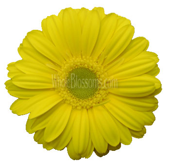 Yellow Gerber Daisies | Light Center