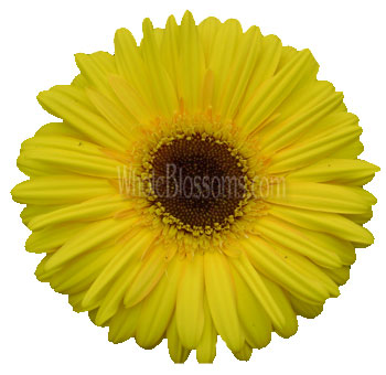 yellow-gerbera-daisy