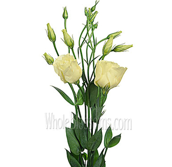 Yellow Lisianthus