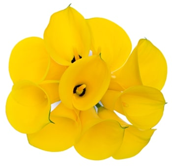 Order bulk mini calla lilies at wholesale prices yellow calla lily flowers long mightylinksfo