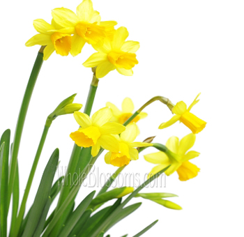 Daffodils mini yellow flowers daffodils mini yellow mightylinksfo
