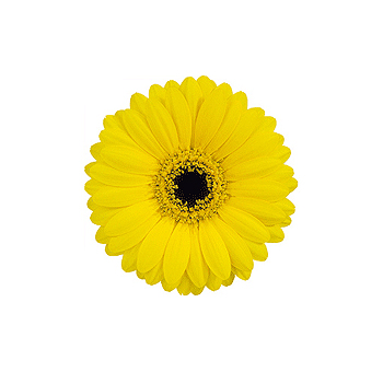 Yellow Gerber Daisies Mini