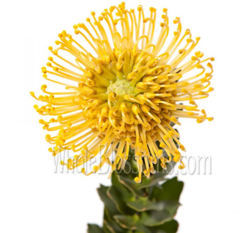 Wholesale yellow protea pin cushion flower for events yellow protea pin cushion flower mightylinksfo