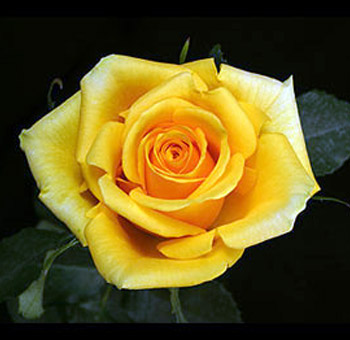 Bulk Flowers Gold Strike Yellow Rose