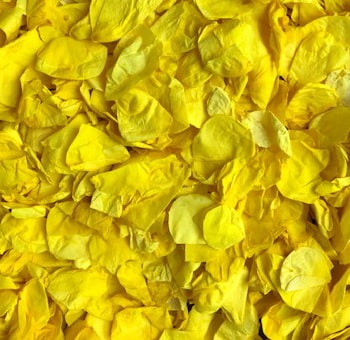 Yellow Rose Petals Preserved
