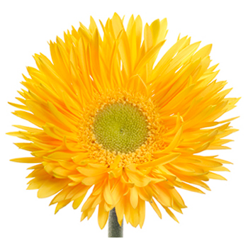 Yellow Spider Gerbera