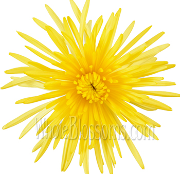 Spider Mum Anastasia Yellow Tinted