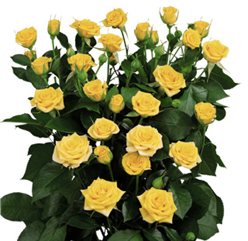 Yellow Spray Roses for Valentine's Day