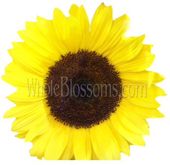 Yellow Sunflowers Dark Center | Medium