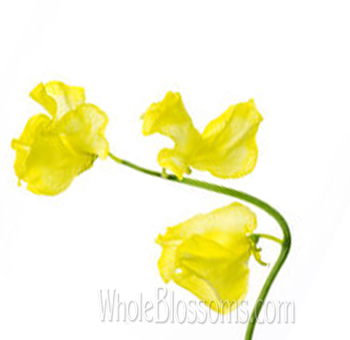 Sweet Peas Yellow