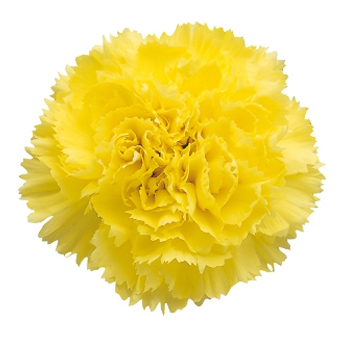 Tinted Yellow Carnations