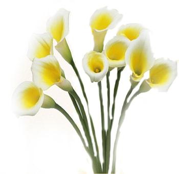 Yellow White Calla Lily Bicolor