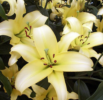 Yelloween Oriental Lily Flower
