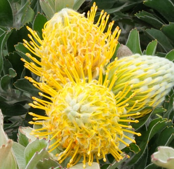 Yotty Pincushion Protea Flower