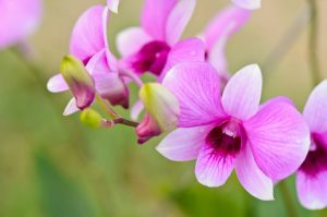 Buy Wholesale Dendrobium Blooms