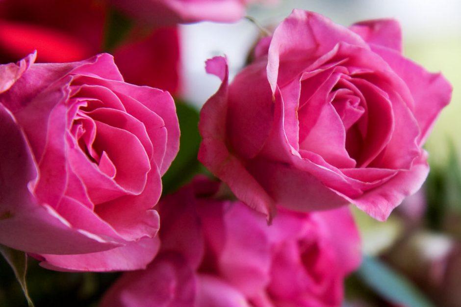 Buy organic roses