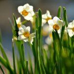 Buy Daffodil Flowers Online