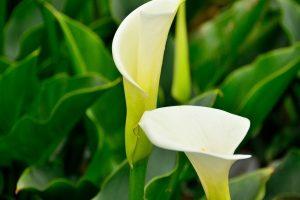 Buy calla lilies