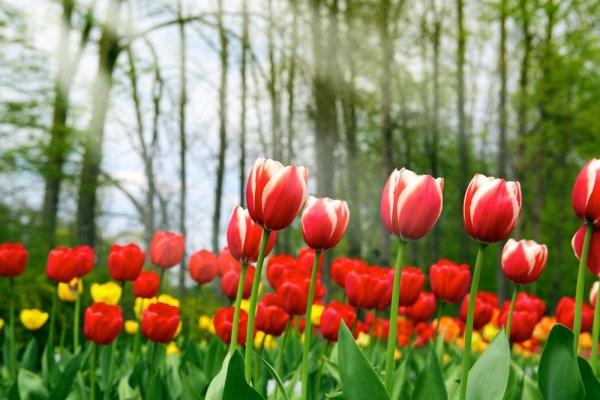 Tulips flowers online