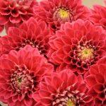 Buy Dahlias flowers online