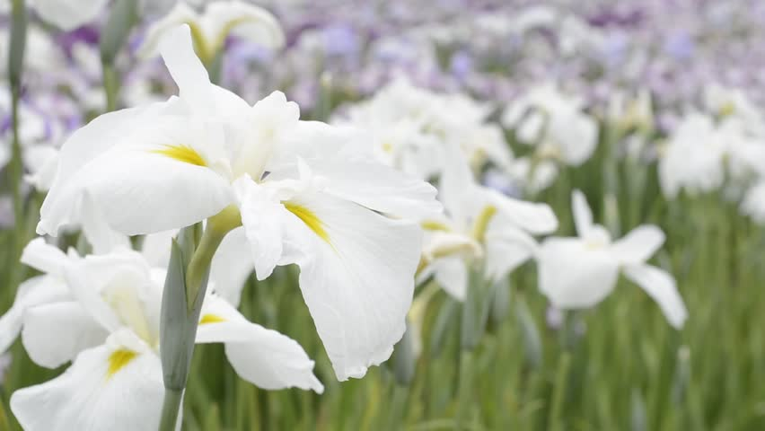 White irises flower