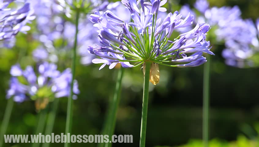 wholesale agapanthus flowers