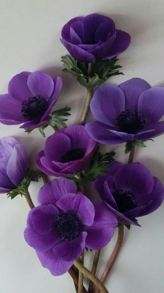 Purple Anemones for engagement